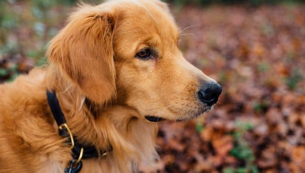 Closeup of golden retriever face in front of fall leaves