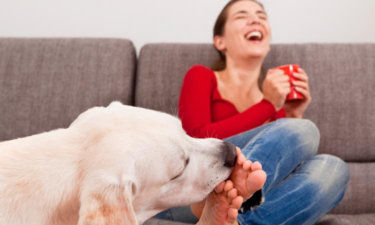 Labrador qui lèche les pieds d'une femme