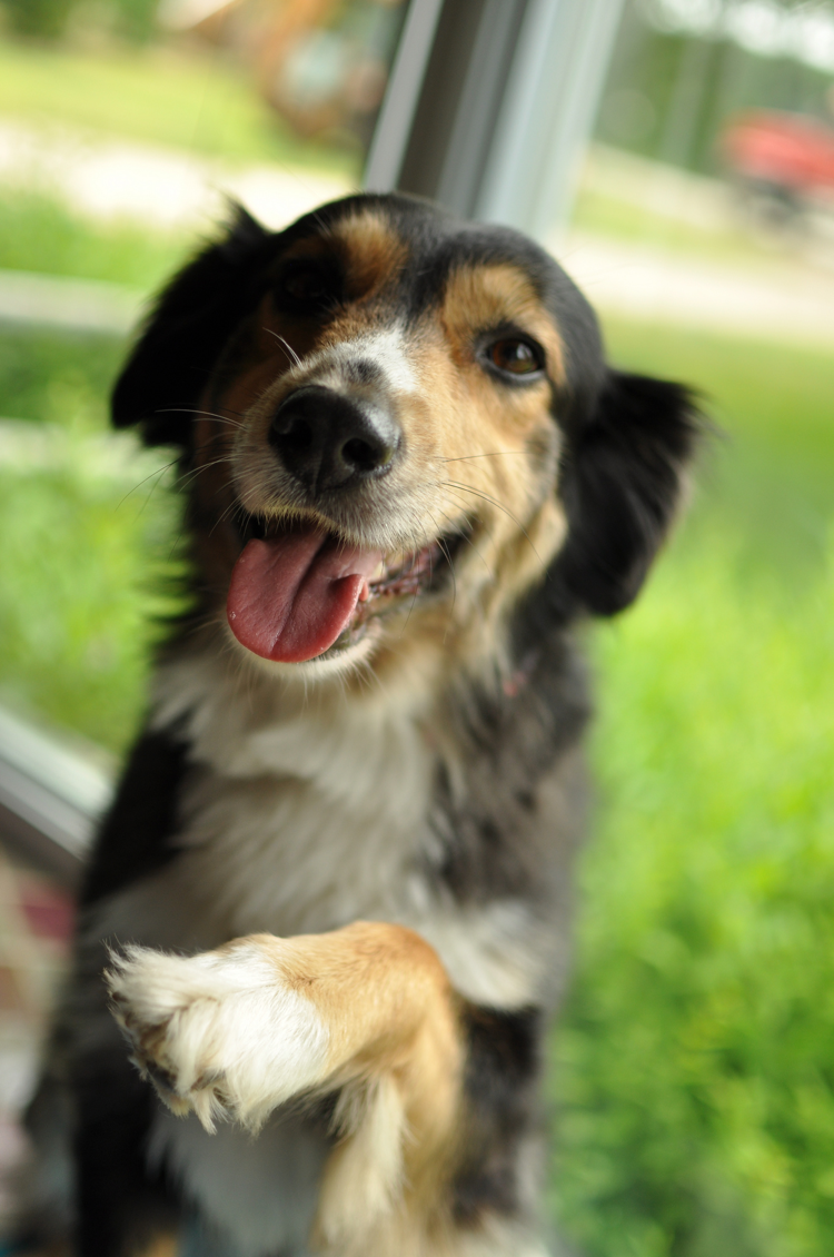 teach your dog to shake paws
