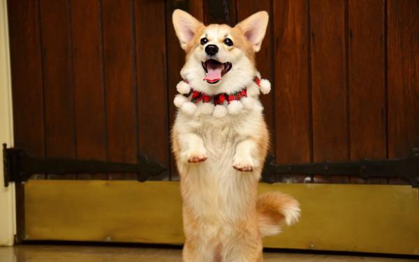 corgi saltando ridendo e imparando fantastici trucchetti per cani