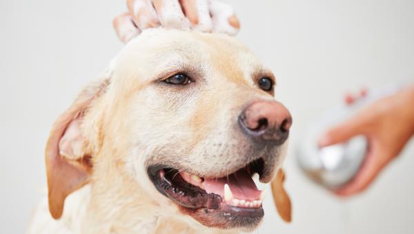 Hvor ofte bør du vaske hunden din? Tips og råd for et lykkelig hundebad.