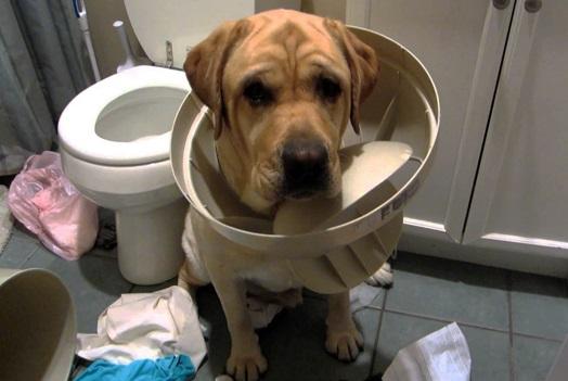 Schuldiger Hund
