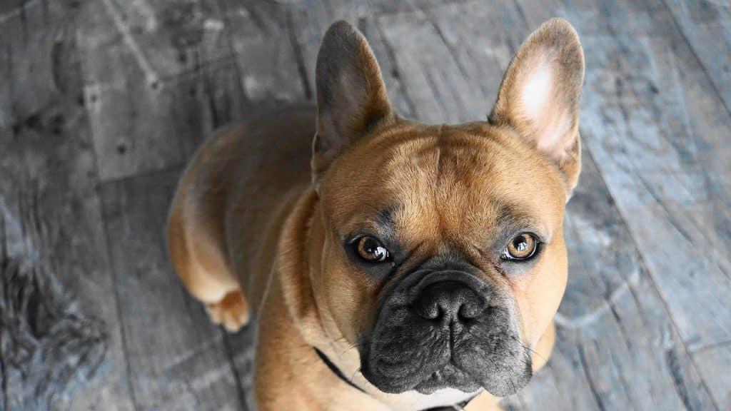 English Bulldog Vs French Bulldog What S The Difference