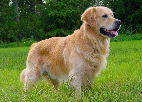 Golden Retriever standing in a sunny field one of the top dogs for kids