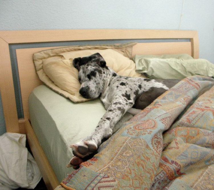 dogue allemand dans le lit