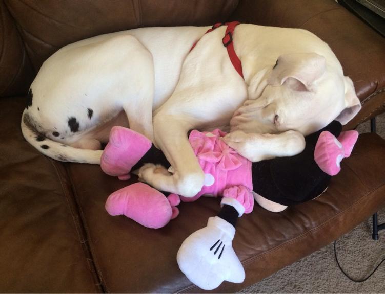 dogue allemand dort avec sa peluche génate