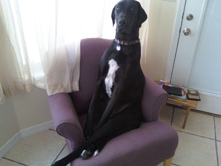 dogue allemand noir sur le canapé