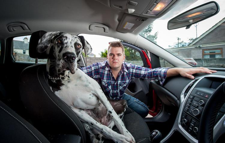 dogue allemand dans la voiture