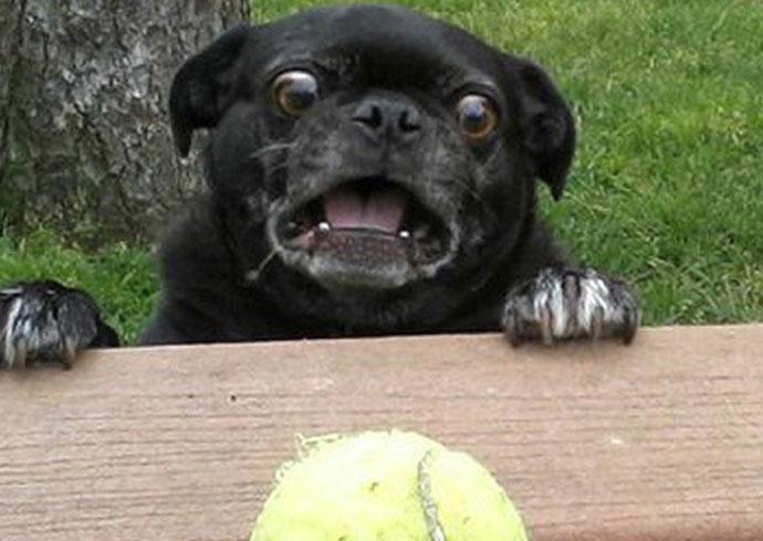 pug tennis ball derp funny meme