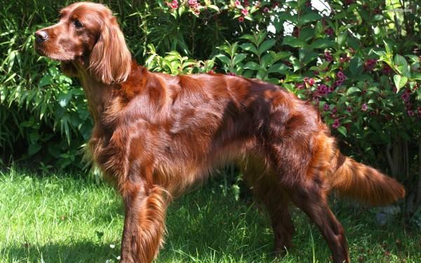 Irish Red Setter Dog standing in a sunny garden