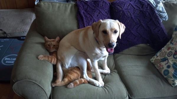 labrador retriever encima de un gato con pelo rojo en un sófa