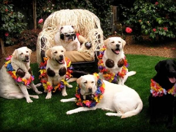 labrador retriever con pelo blanco hacen una fiesta en un jardín
