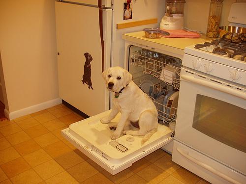 labrador encima de una lavavajilla en la cocina