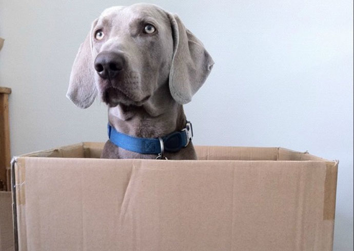 Weimaraner sitting in a cardboard box for the Get A Weimaraner DogBuddy Blog Post