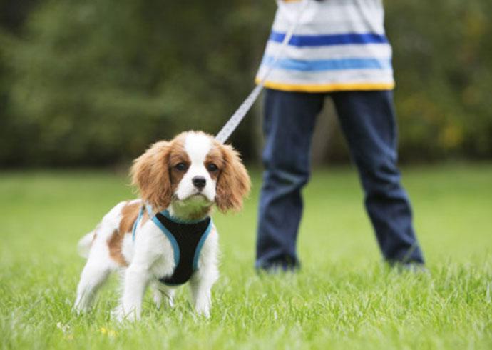 mi perro no viene cuando le llamo - cachorro de king chavalier spaniel