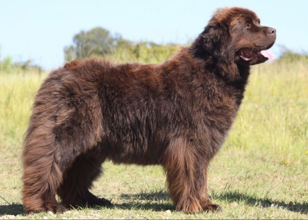 large newfoundland dog standing in a sunny field