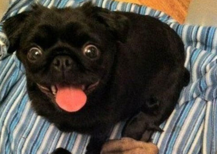 pug funny derp