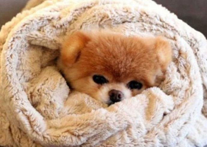 perro no deja de temblar y está en una manta