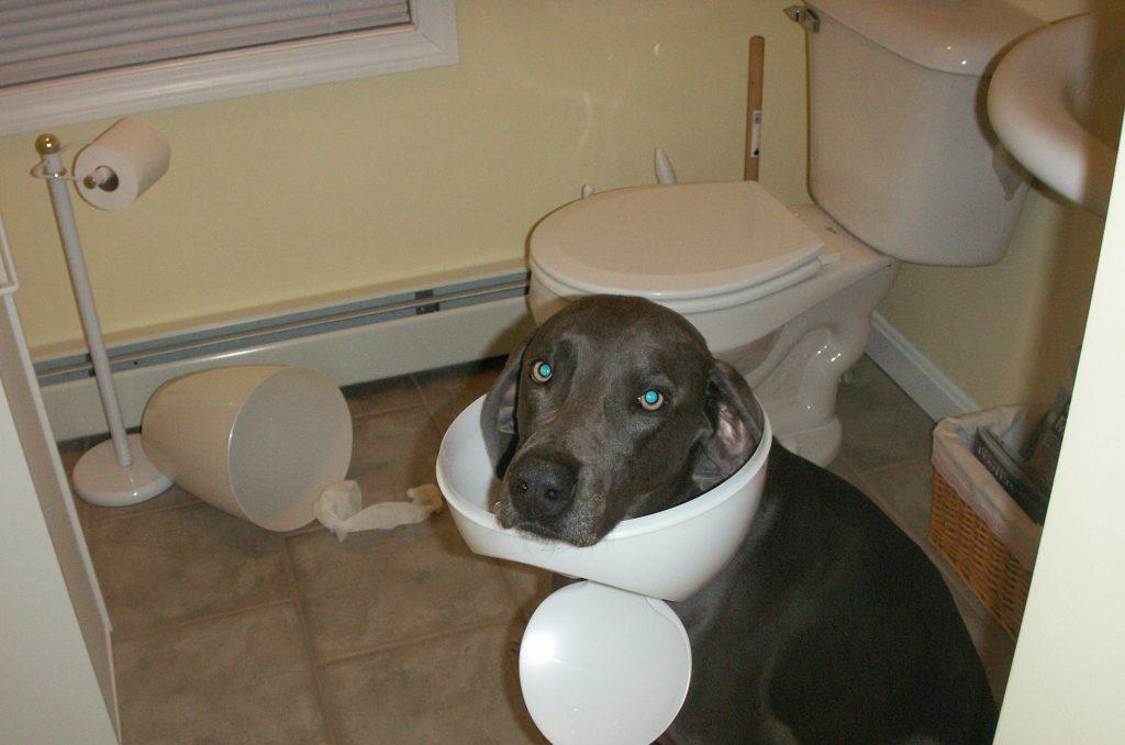 Weimaraner looking guilty with bathroom bin stuck on head for the Get A Weimaraner DogBuddy Blog Post