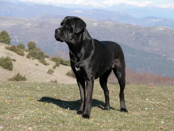 razze di cani preferite cane corso con pelo nero in montagna