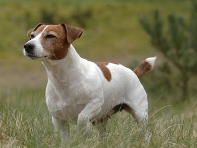 razze di cani preferiti jack russel terrier