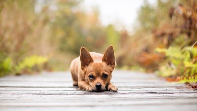 razze di cani preferite dagli italiani chihuahua