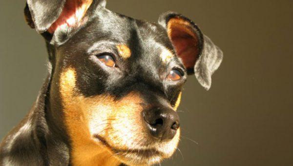Las razas pequeñas también pueden ser perros guardianes