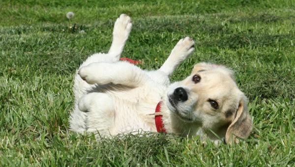 Lär din hund att rulla runt