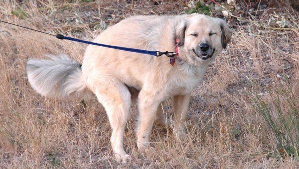 ¿Sabes por qué tu perro te mira cuando hace caca?
