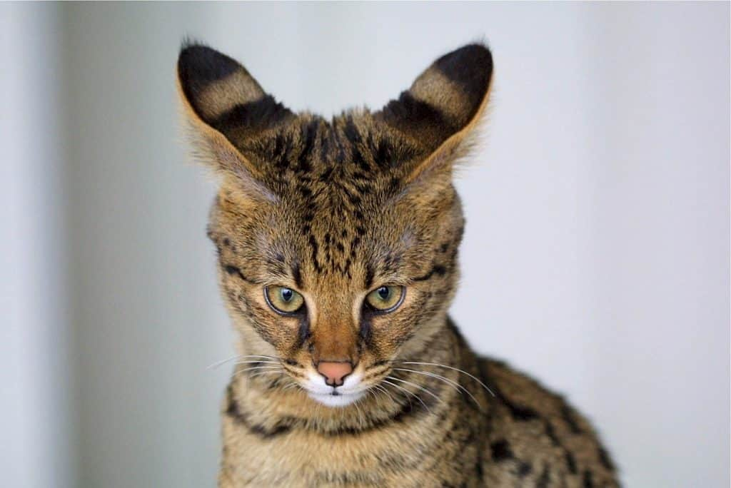10 Surprising Facts About Savannah Cats The Dog People By Rover Com
