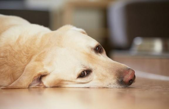 Golden Retriever Labrador lying on a wooden floor