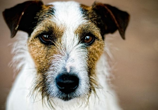 symptoms-distemper-in-dogs