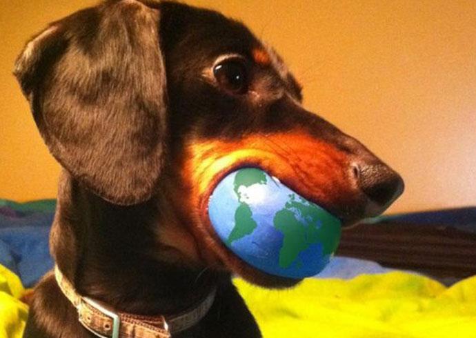 perro salchicha con pelota en la boca
