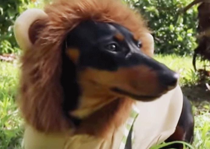 perro león en el parque
