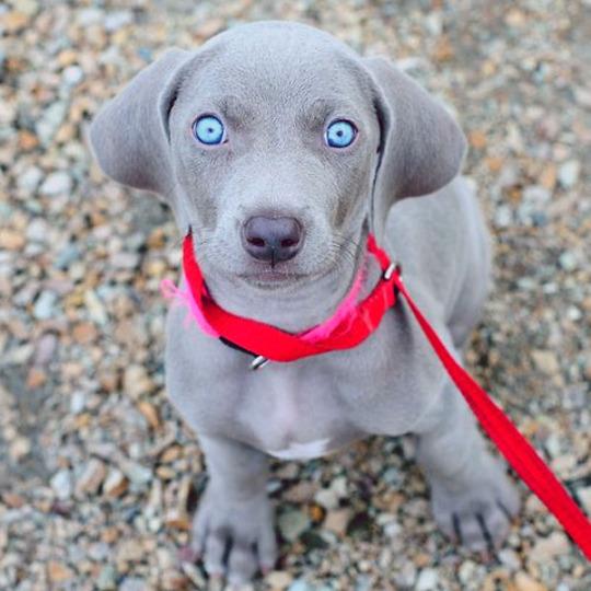 tener un braco de weimar con los ojos azules