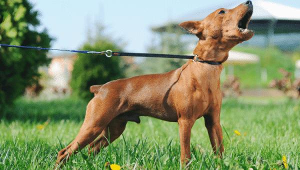 Er hunden din overbeskyttende? Tips for å begrense territoriell aggresjon hos hunder