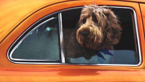 Deze 10 Honden In Oranje Outfits Zijn Klaar Voor Koningsdag