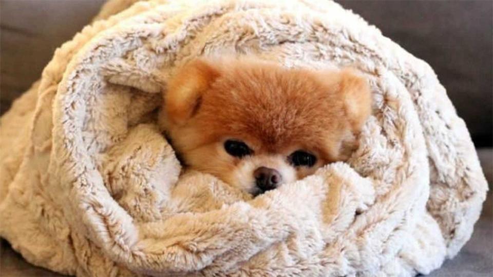 chien loulou de poméranie froid