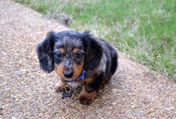 Kleiner Wursthund