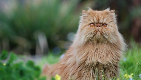 6 Facts You Probably Didn't Know About Persian Cats