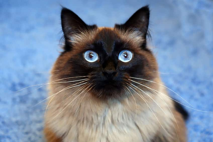 6 Ragdoll Cat Facts You Should Know The Dog People By Rover Com