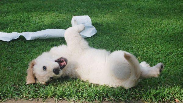 La verità sui tappetini igienici e pannolini per cani