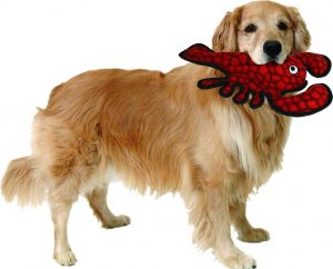golden retriever holding Tuffy's lobster dog pool toy