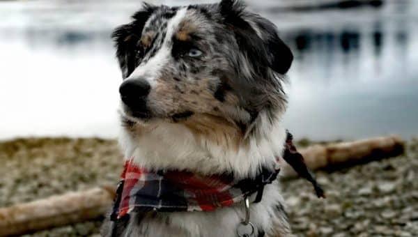 8 Best Dog Harnesses for Australian Shepherds