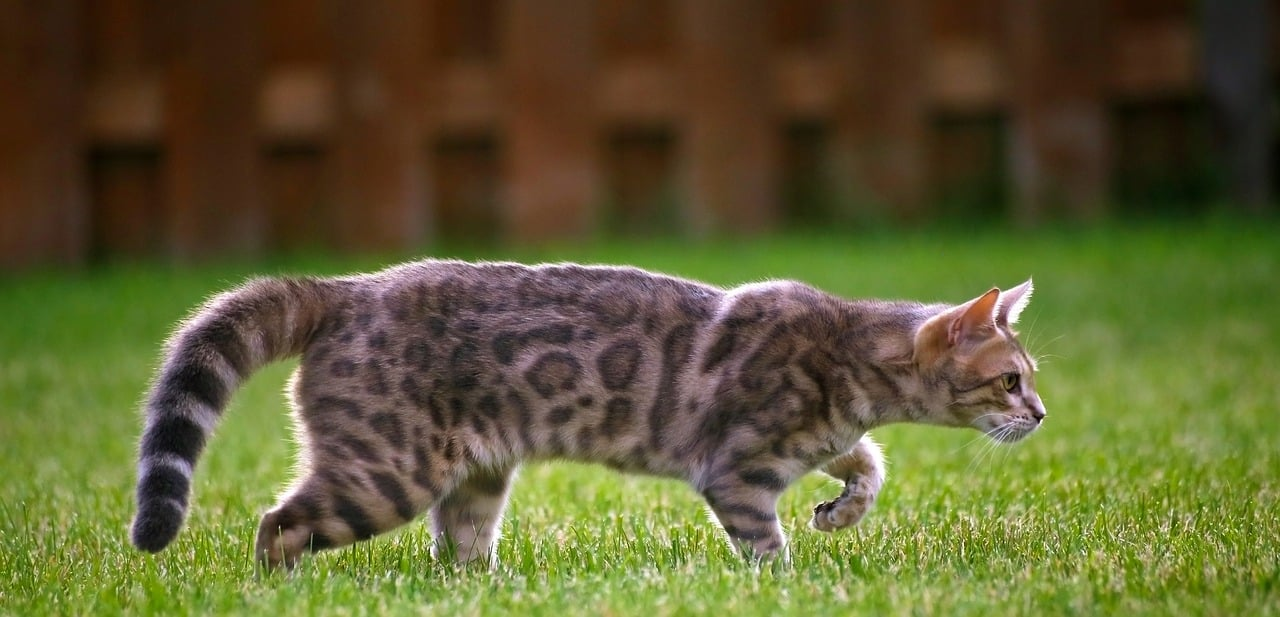 10 Fascinating Facts About Bengal Cats The Dog People By Rover Com