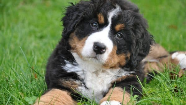 Bernese Mountain Dog Puppies: The Ultimate Guide for New Dog Owners