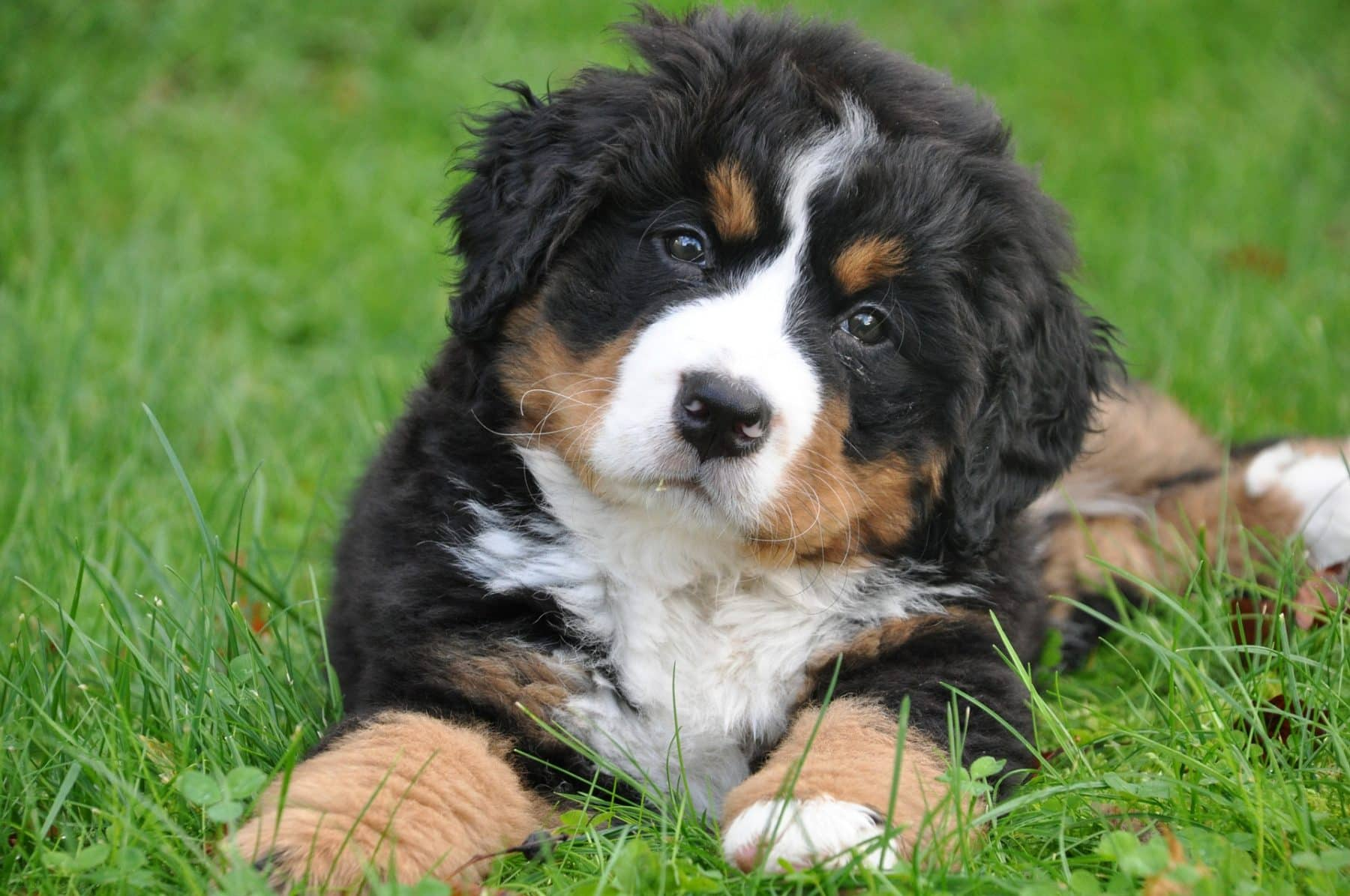 Bernese Mountain Dog Puppies: The Ultimate Guide for New Dog ...