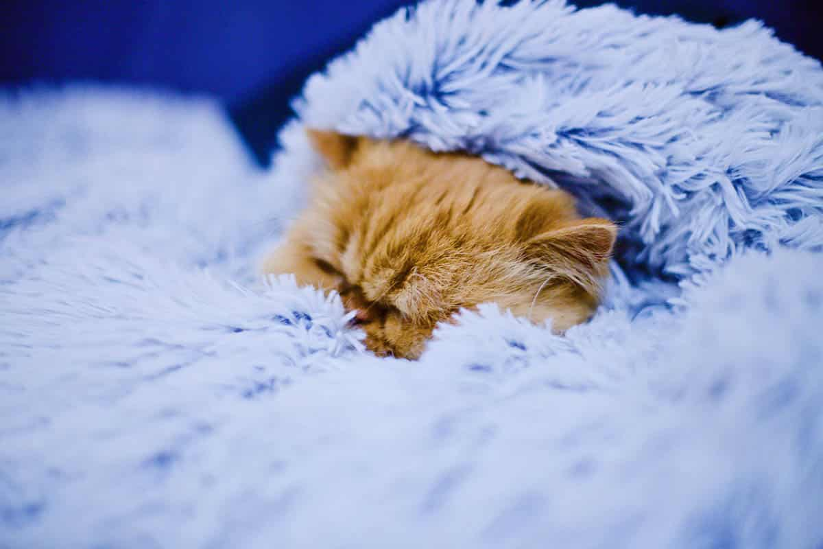Calm red tabby cat in blue blanket