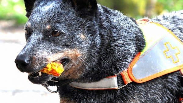 7 Best Harnesses for Australian Cattle Dogs