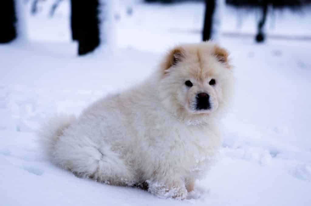 Chow Chow Puppies The Ultimate Guide For New Dog Owners The Dog People By Rover Com
